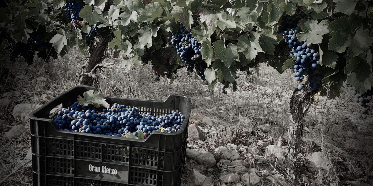 Vendimia 2020 / Grados mínimos de las uvas
