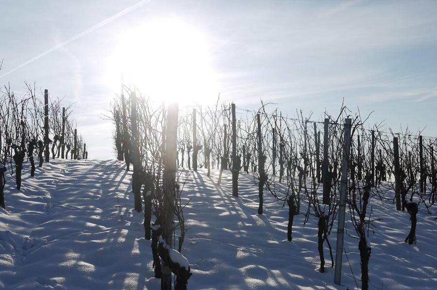 La viña y la nieve